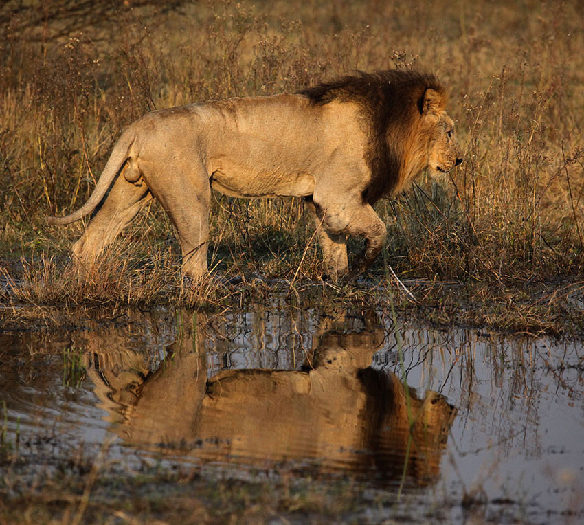 Leon en el delta del Okavango
